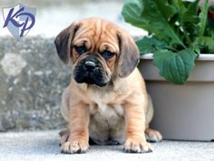 Keystone Puppies has a puppy finder feature setting you up to find and buy a dog perfect for your home. Puggle Puppies For Sale, Cute Puppies, Cute Baby Animals, Animals And Pets, Puppy Finder, Baby Pugs, Buy A Dog, Doggies, Ranger