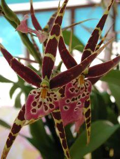 MILTASSIA En el comercio, es un híbrido intergenérico entre los géneros de orquídeas Brassia y Miltonia.