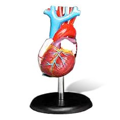 Beginner human heart anatomical model. This 7.25 inch heart anatomy model is a life-size 1:1 scale. Cutaway mode shows inner heart anatomical detail with veins disassembled and detailed finish master coloring. The anatomical model features detachable tricuspid valve, mitral valve and super detailed parts including aorta and pulmonary artery. Additional anatomical details include the superior vena cava, inferior vena cava and septum. The hand painted parts are medical education quality.