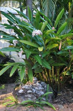 Gingers | Alpinia zerumbet cv. 'Green Shell' from Bamboo Land Nursery (QLD Australia)