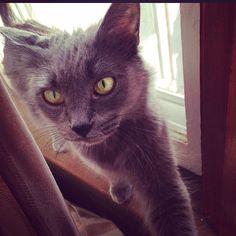 Pixie Cat | Pawshake toronto