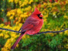 Animales Cardinal  Ave Fondo de Pantalla