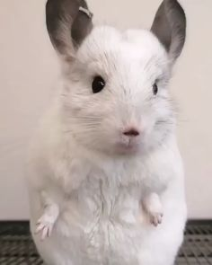 Ensuring your chinchilla has the correct diet is vital to their well-being. Understanding the importance of what do chinchillas eat, can help your pet thrive in a healthy and happy home. Cute Little Animals, Cute Funny Animals, Cute Cats, Chinchilla Cute, Cute Animal Videos, Tier Fotos, Exotic Pets, Animals Beautiful, Animals And Pets
