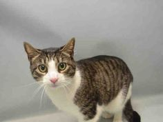 """LEO - A0906577 - - Brooklyn  Please Share:   ***TO BE DESTROYED 05/24/16*** LEO IS A 5 YEAR OLD HEALTHY CAT WHO LOVES TO BE HELD LIKE A BABY AND CUDDLED – YET OWNER DUMPS HIM AND NOW HE WILL DIE AT NOON TUESDAY! LEO's owner gave the vague excuse that he was dumped for """"behavior"""" in the home. LEO lived with this person since kittenhood. Yet this same owner goes on to say how LEO likes to follow him around, be cuddled, and is relaxed and affectionate. He even allo"""