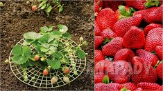 Čisté jahody: pěstování   Prima nápady Strawberry, Fruit, Garden, Garten, Lawn And Garden, Strawberry Fruit, Gardens, Gardening, Outdoor