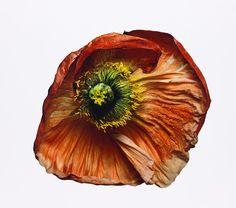 Iceland Poppy (B), New York, 2006 The Irving Penn Foundation