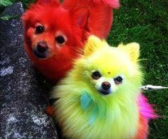 Dyed pomeranians   Pomeranian