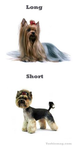 Yorkie Haircuts: Yorkshire terrier Cuts and Hairstyles | Yorkiemag