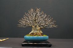 AM BONSAI: Exposicion Benefica a Beneficio de Izan