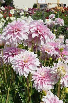 Wer sich helle Lichtreflexe für den Sommergarten wünscht, ist bei der Dahlia 'Sweet Tiamo' richtig. Diese Knollenpflanze blüht von Mitte Juni bis Ende Oktober in einem zarten Rosaton. Juni, Garden, Plants, Pink, Summer Garden, Daffodils, Dahlias, October, Lawn And Garden