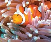 clown fish and anemone at Green Island  #ecotourism #queensland #australia