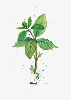 Free for personal use Mint Leaf Drawing of your choice Plant Illustration, Watercolor Leaves, Watercolor Paintings, Watercolor Water, Koch Tattoo, Mint Herb, Impressions Botaniques, Mint Plants, Gardening