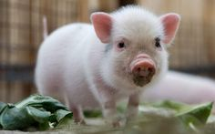 cute little piggy!