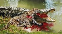 Jaguar Documentary - The Real King Of The Jungle - History Channel HD - YouTube