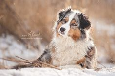 Berger australien by Mareike Konrad - looks so much like Bailey! Australian Shepherds, Australian Shepherd Puppies, Aussie Puppies, Aussie Shepherd, Dogs And Puppies, Doggies, Beautiful Dogs, Animals Beautiful, Cute Animals