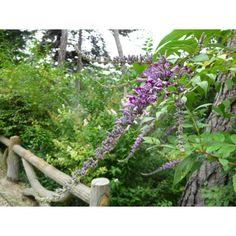 Buddleja Lindleyana : grand buddleja, fleurs en grappes retombantes, bleu violet au coeur de l'été ; attire les papillons, se ressème peu. Au jardin d'Adoué