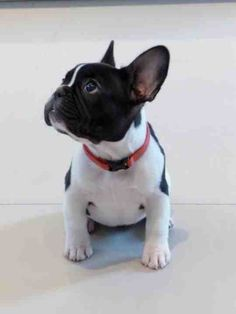 Hello handsome, French Bulldog Puppy.