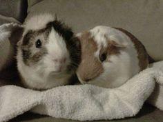 Guinea Pigs <3 Mercutio and Ezio