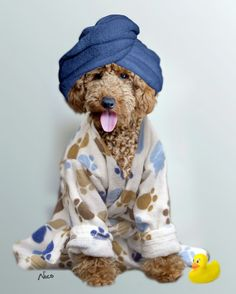 #poodle, #miniature, #bath, #dressing-gown, #apricot, #dog https://www.facebook.com/niconki/
