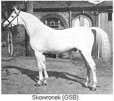 Skowronek the Arabian stallion