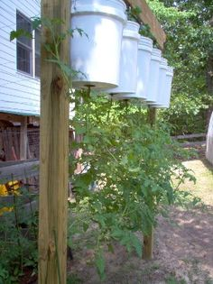 Growing tomatoes upside down (for those with little space or kids who will think it's cool).