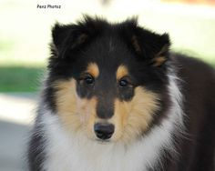 tri-colored collie puppy, I love those fur colors!  I wants one, it's so adorable