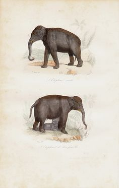 1870 Antique ELEPHANT print engraving.