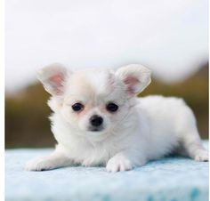 Long haired chihuahua. I want
