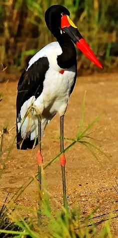Saddle-billed Stork by reva Pretty Birds, Love Birds, Beautiful Birds, Animals Beautiful, Exotic Birds, Colorful Birds, Animals And Pets, Cute Animals, Kinds Of Birds