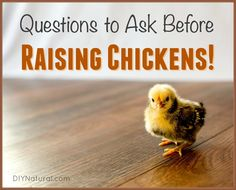 Raising chickens isn't always all it's cracked up to be. Ask these questions before buying chicks; they're more than cute and fuzzy little Easter decorations!