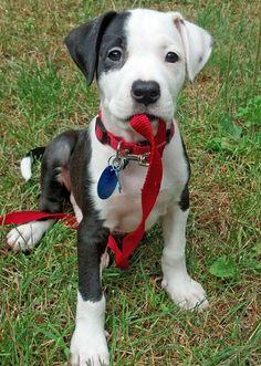 Precioso mestizo Boxer-Labrador