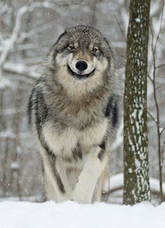 """This wolf with its ears laid back  and mouth in a snarl is in an """"attack"""" mode.  He's not """"smilin'"""".  Just back away."""