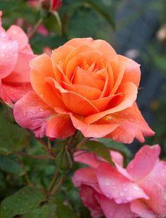 ~... 'Westerland ' Rose Photo