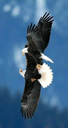 Bald Eagles fighting over fish in Alaska