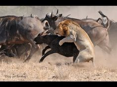 Lion's Fight To The DEATH - Africa's Dry Savannah - Wildlife Documentary - YouTube