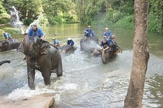 Elephants going for a bath at Thai Elephant Conversation Center, Lampang, Thailand >>> Looks like they are having fun!