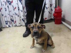This DOG - ID#A463990 - located at Harris County Animal Shelter in Houston, Texas - 6 MONTH OLD Female Boxer mix - at the shelter since Jul 15, 2016.