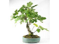 fig carica bonsai | Bonsaï Création | Fiche d'entretien du Figuier (Ficus carica)