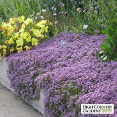 Pink Creeping Thyme is an outstanding selection with glossy, dark green leaves covered with light pink flowers pushing form rose-pink buds in early summer. This variety is impressively xeric, with tough woody stems. Drought resistant/drought tolerant plant (xeric).