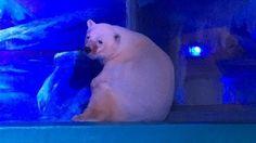 Pizza the Polar Bear needs our help!
