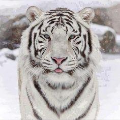 #My#tiger