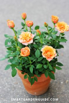 Growing miniature roses indoors comes with a few challenges. This guide will show you exactly what to do to grow beautiful miniature roses in your home. Rose Plant Care, Rose Care, Garden Care, Planting Roses, Roses Garden, Flower Pot Design, Growing Roses, Mini Roses, Climbing Roses