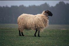 Razas de oveja de aptitud láctea Oveja Raza Latxa
