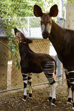 Dallas Zoo Welcomes 36th Okapi Calf.  Okapi = Zebra, Giraffe, Horse Mix
