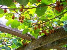 Kiwi fruit growing on on a pergola Garden Cafe, Garden Arbor, Kiwi Growing, Kiwi Vine, Fruit Bearing Trees, Tropical Garden Design, Wooden Pergola, Permaculture, Backyard Landscaping