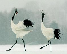 Japanese Cranes in snow storm