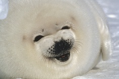 Harp Seal (Phoca groenlandicus) pup portrait, Gulf of St Lawrence, Canada Harp Seal Pup, Baby Harp Seal, Baby Seal, Funny Seals, Cute Seals, Cute Baby Animals, Animals And Pets, Funny Animals, Wild Animals