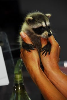 Raccoon baby.  You have no idea how much I want one of these.