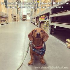 Dachshund Life Struggle // The Struggle is Real // Ammo the Dachshund corgi dachshund mix, dachshund bed, dog hair quotes Corgi Dachshund, Dachshund Facts, Dachshund Quotes, Long Haired Dachshund, Funny Dachshund Pictures, Daschund, Thai Chi, Weenie Dogs, Dog Rules