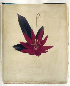 Linda Broadfoot - 'Passiflora coccinea (Red Passion Flower), no. 4 of 4' - Sears-Peyton Gallery